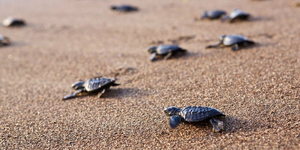 Olive Turtles on Galgibaga beach